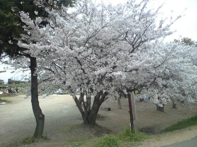 神戸市内は今満開です