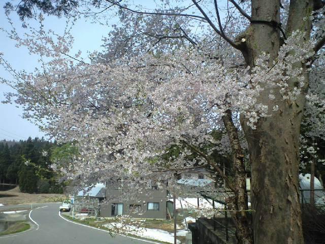 雪と桜と鶯